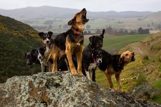 Стаи бесхозных дачных собак растерзали маралов икосуль на«Столбах»